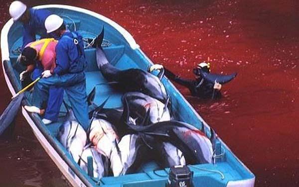 保护与杀戮的博弈 在日本,有一个渔村名叫太地町,那里有硕大的海豚尾巴样式的喷泉池,路边草坪中的甬道里夹杂着自由嬉戏的鲸鱼和海豚雕塑如果不知情,你或许以为这是一个热爱海豚和鲸鱼的地方。 但是,2009年,一部环保纪录片《海豚湾》却揭露了当地对海豚灭绝人性的屠杀。太地町屠杀海豚在国际社会引起一片声讨。捕杀海豚是不是日本的文化?这种传统真的被世界曲解了吗? 捕杀海豚是不是日本文化? 每年9月中旬,日本南部渔村太地町就会举行名为杀海豚节的庆祝活动。在随后的6个月中,将有2300多头海豚遭到屠杀,而每只海