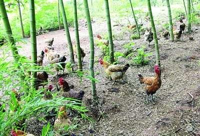 在农村说起养鸡大家都知道