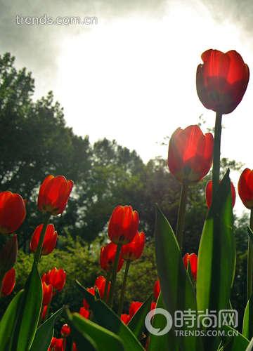望荷兰郁金香花开 那种花的颜色叫做快乐
