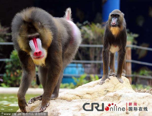 世界上最漂亮的猴子——山魈正式入住广州市香江野生动物世界非洲猴岛