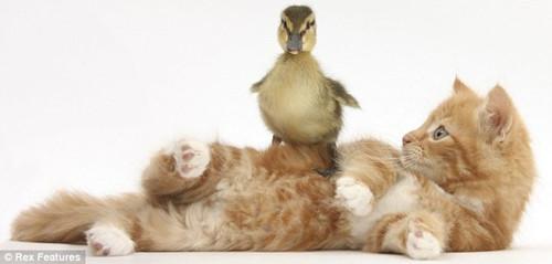 """英摄影师拍摄宠物萌图 小狗""""强吻""""小猫(组图)"""